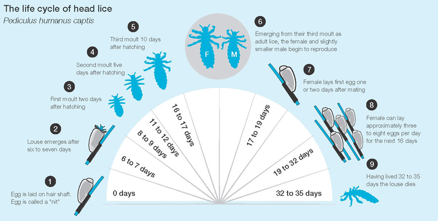 head-lice-life-cycle